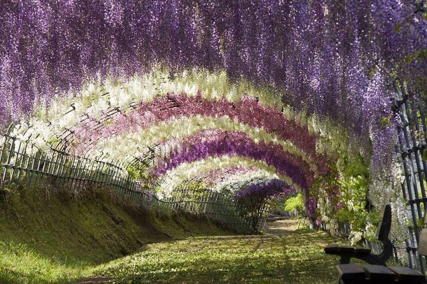 Túnel de Flores de Glicínia, Japão 1