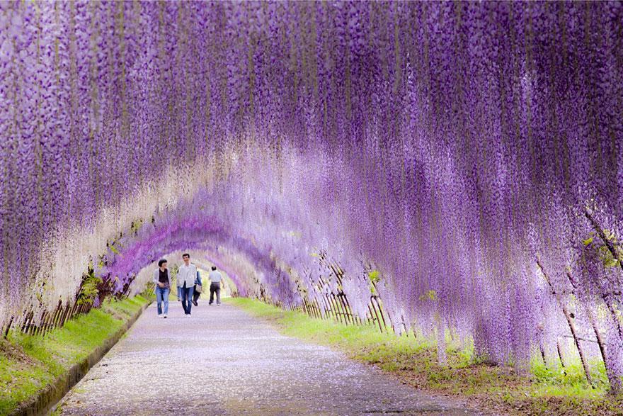 Túnel de Flores de Glicínia, Japão 2